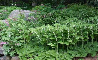 polygonatum-odoratum-sello-de-salomon