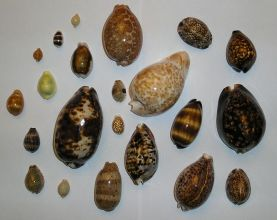 800px-Different_cowries